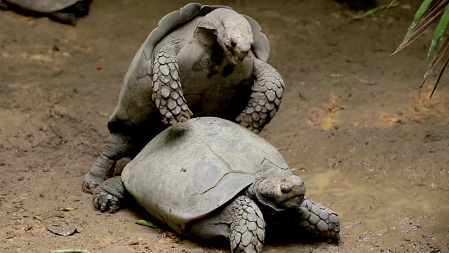 Turtles. Two turtles mating. tortoise stock videos & royalty-free footage