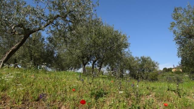 toskanska landskapet i chianti landsbygden i toscana med olivträd, vallmo blommor och fantastisk blå himmel - stenmur bildbanksvideor och videomaterial från bakom kulisserna