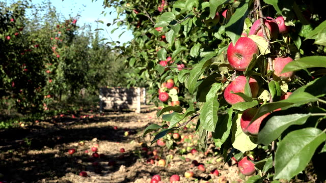 Twig full of red fruits and red apples under orchard tree in autumn. FullHD video