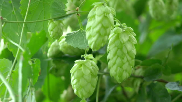 Twig of hops on the plantation in 4K video