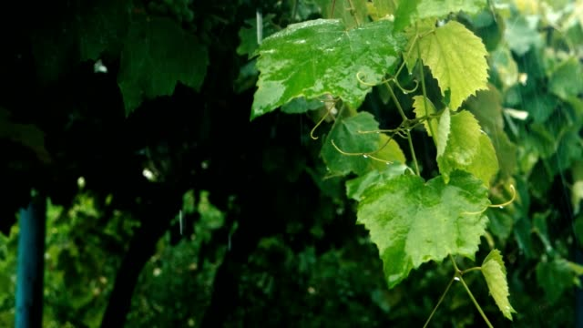 twig of the grape in the heavy rain - orticoltura video stock e b–roll