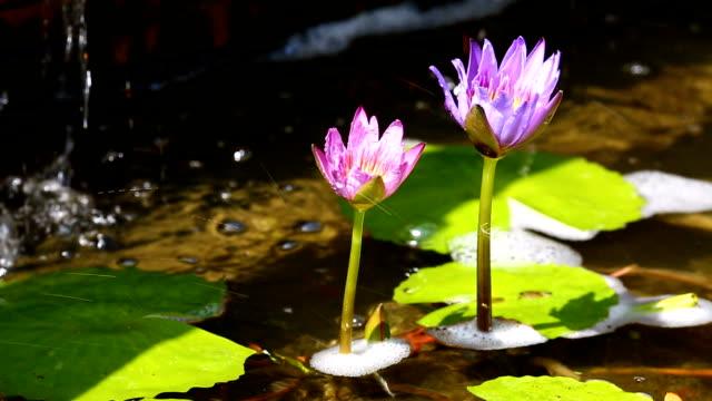twin lotus lila med vatten droppe bakgrund - lotusställning bildbanksvideor och videomaterial från bakom kulisserna