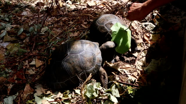 Two 4 years old giant tortoises at Curieuse Island breeding station, Seychelles Two 4 years old giant tortoises at Curieuse Island, Seychelles giant tortoise stock videos & royalty-free footage