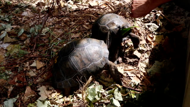 Two 4 years old giant tortoises at Curieuse Island, Seychelles Two 4 years old giant tortoises at Curieuse Island breeding station, Seychelles giant tortoise stock videos & royalty-free footage