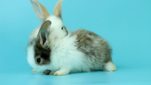 Two adorable fluffy rabbits eating delicious carrot together on blue background, feeding bunny vegetarian pet animal with vegetable
