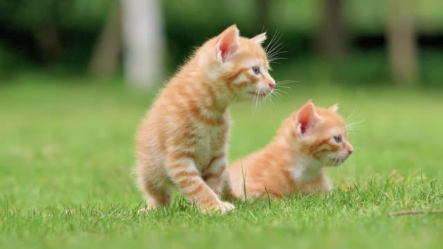 Two adorable ginger kittens on meadows, crying and looking for their mother, lovely pets, 4k footage, slow motion. Two adorable ginger kittens on meadows, crying and looking for their mother, lovely pets, 4k footage, slow motion. animal family stock videos & royalty-free footage