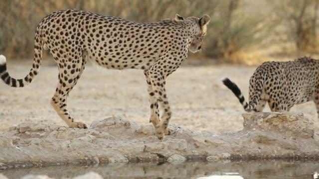 Two alert cheetahs drinking at a waterhole, Kalahari desert, South Africa