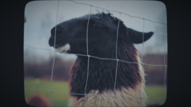 Two alpacas behind the fence, Close-up