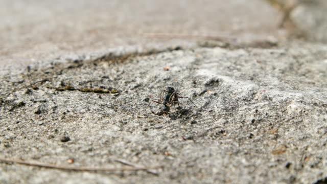 vídeos y material grabado en eventos de stock de dos hormigas luchando en un terreno rocoso - insecto himenóptero