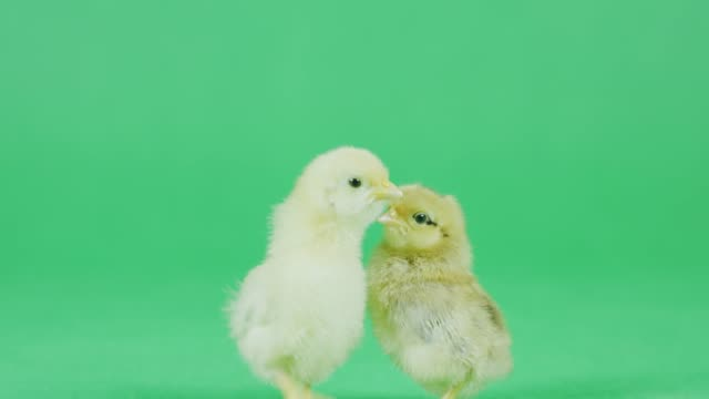 4K CU Two Baby Bantam chicken with green screen