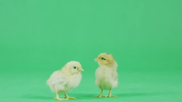 4K CU Two Baby Bantam chicken with green screen - video