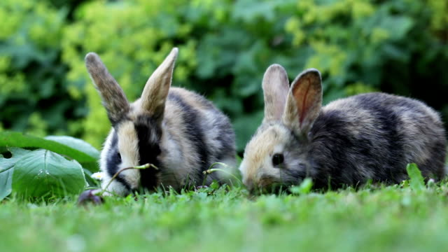 two baby bunnies eating cherry video