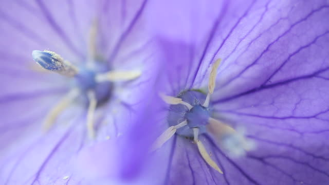 two balloon flowers macro video
