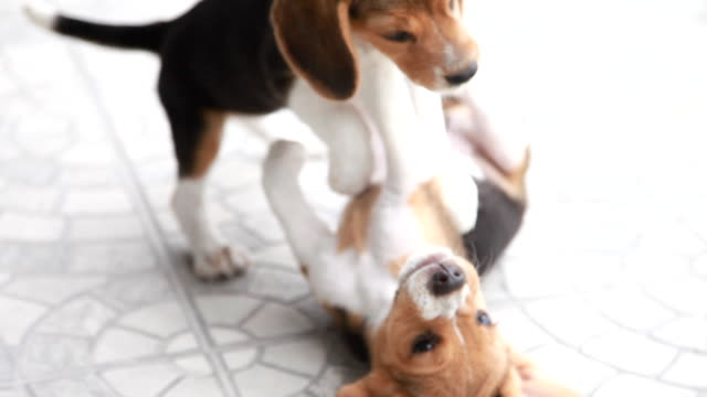 Two beagle puppy be naughty in a house video