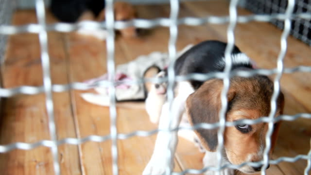 Two beagle puppy in a dog cage video