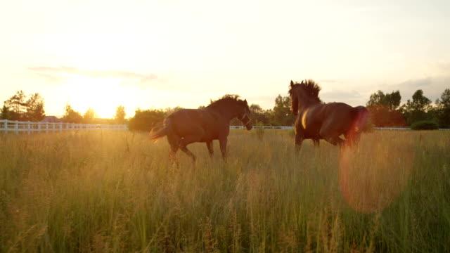 SLOW MOTION: Two beautiful dark brown horses running fast on vast meadow field