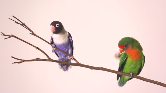 Two beautiful green parrots lovebirds agapornis on dry branch. video