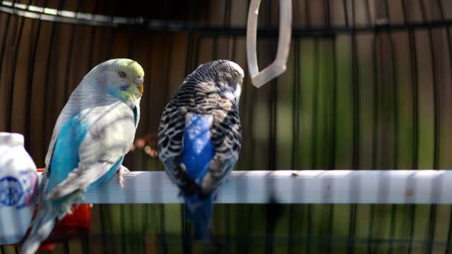 Two beautiful parakeets standing in their birdcage