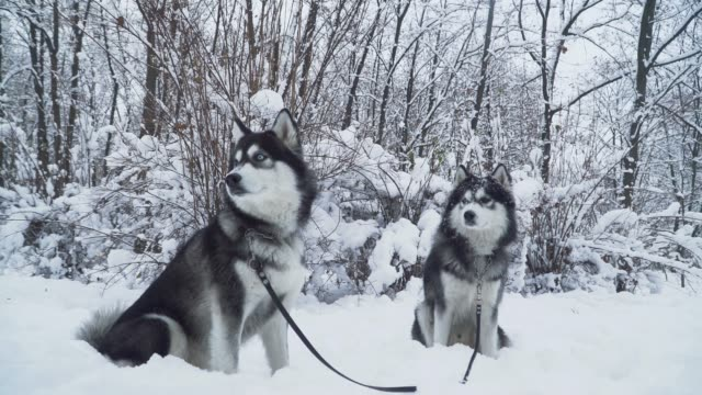 Two beautiful siberian huskies dogs on a lashes seat on the snow on the background of winter white forest Two beautiful siberian huskies dogs on a lashes seat on the snow on the background of winter white forest siberia stock videos & royalty-free footage