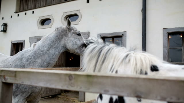 two beautiful white horses playing - stallone video stock e b–roll