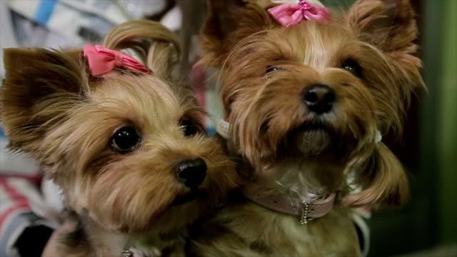 2 つの美しいヨークシャー テリア、肖像画 - 愛玩犬点の映像素材/bロール