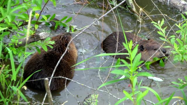 Deux Beavers manger - Vidéo