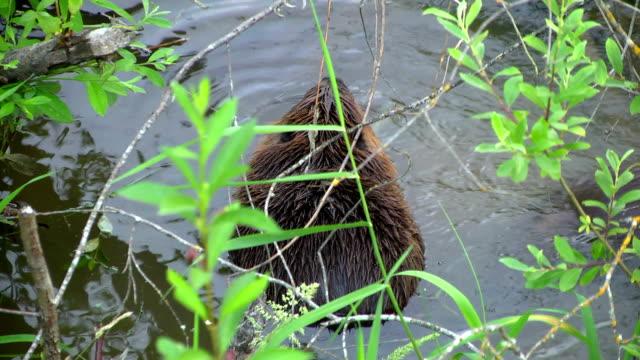 Deux Beavers - Vidéo