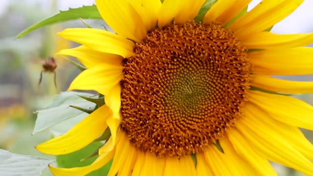 Two bees are walking on a sunflower close up