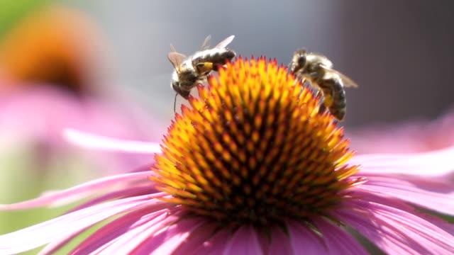 Makro: Zwei Bienen geladen mit Pollen sammeln Honig aus Blumen- und wegfliegen – Video
