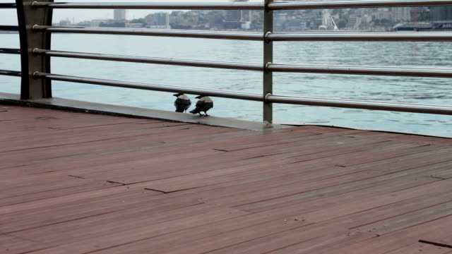 Two big black crows sit on a shore of the Caspian Sea embankment, in Baku video