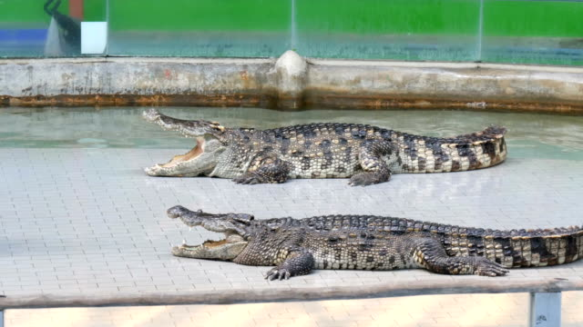 Two big crocodiles lie with open jaws in arena video