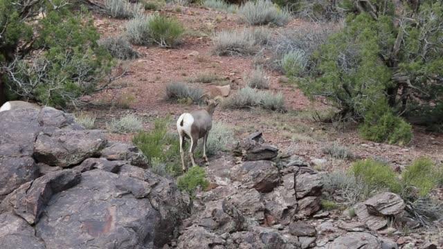 Two bighorn sheep video