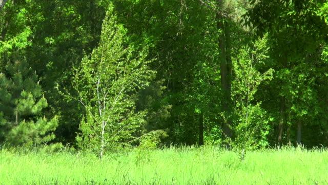 två björk i utkanten av skogen - på gränsen bildbanksvideor och videomaterial från bakom kulisserna