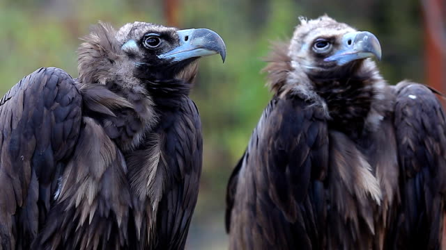 Two birds predatory together. Griffins. vulture stock videos & royalty-free footage