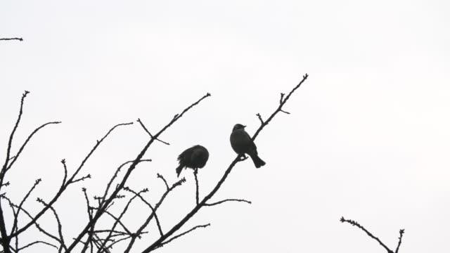 zwei vögel ruhen auf dem winterbaum - laub winter stock-videos und b-roll-filmmaterial