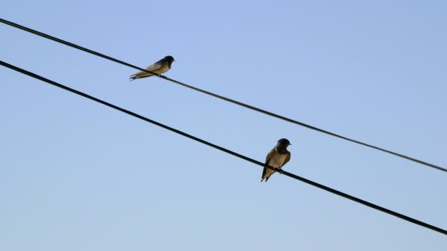 Two birds swallows sitting on wire against clear blue sky video