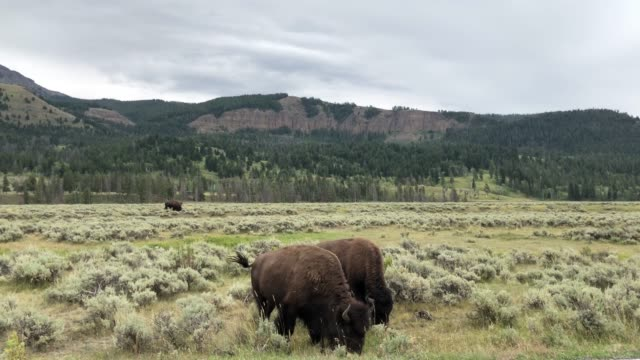Two Bisons Eating in Lamar Valley in Yellowstone video