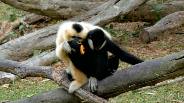 two black and white gibbon on a branch eat food - gibbone video stock e b–roll