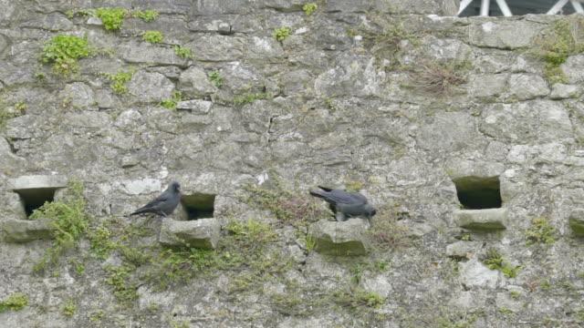 壁の窓の穴に 2 つの黒い鳥 - 動物の身体各部点の映像素材/bロール
