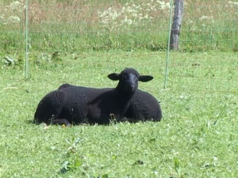 Two black lambs Two black lambs resting on the grass in the sun. panting stock videos & royalty-free footage