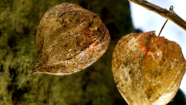 two bladder cherry flower hanging on the stem - японский фонарь стоковые видео и кадры b-roll