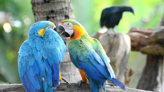 Two Blue Macaws playing each other video