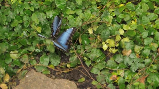 Two Blue morpho butterflies fluttering on ground. video
