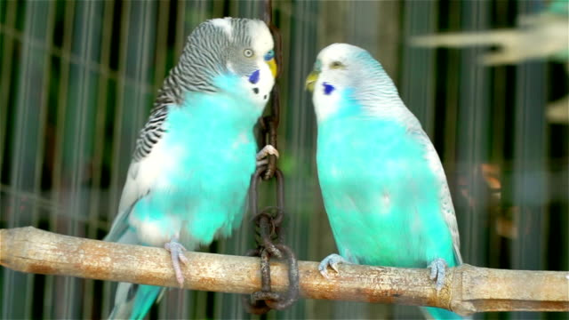 Two blue wavy parrots locked in a cage kiss and flirt. video