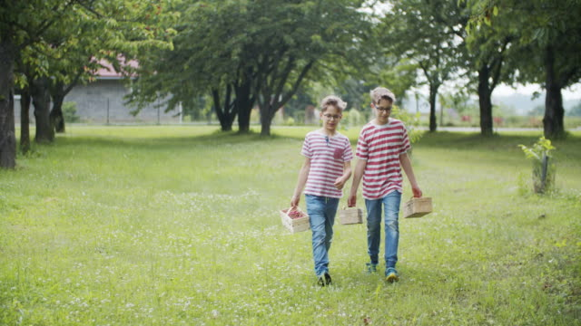 Two brothers picking up cherries in orchard