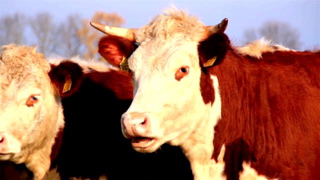 due mucche in marrone la mandria uno con horns - giovenca video stock e b–roll