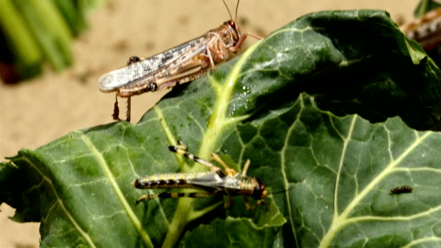 Two brown grasshoppers are eating the leaf video