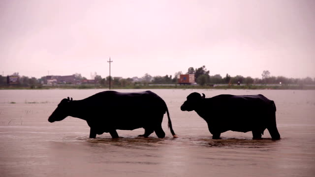 two buffalo crossing through lake during rainy season. - monsone video stock e b–roll