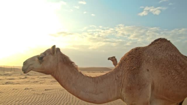 사막의 두 마리 낙 타 - oman 스톡 비디오 및 b-롤 화면