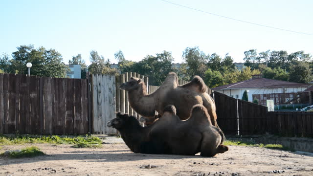 Two camels rest on the ground video
